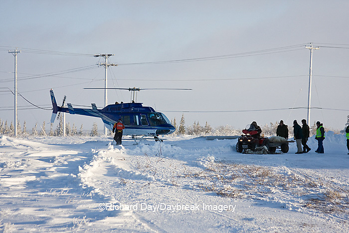 01874-11716 Polar Bear (Ursus maritimus) biologists preparing to airlift bear from Polar Bear Compound, Churchill MB