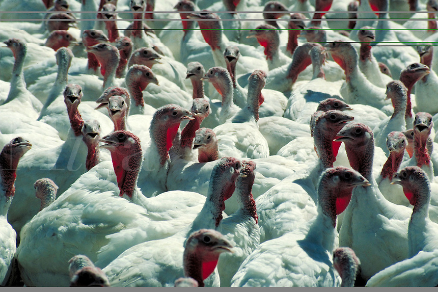 a group of white turkeys with red heads fill frame. Sacramento California.