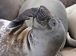 FB 380 Northern Elephant Seal.  Weaner. 5x7 Postcard