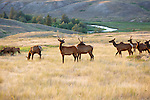 a herd of cow and young bull elk in montana