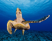 WA1881-D. Hawksbill Sea Turtle (Eretmochelys imbricata). Ranging throughout tropical seas worldwide, this critically endangered marine reptile has been exploited for thousands of years for its beautiful shell. Though officially trade is prohibited by many countries, illegal trafficking still occurs. French Polynesia, Pacific Ocean.  <br /> Photo Copyright &copy; Brandon Cole. All rights reserved worldwide.  www.brandoncole.com