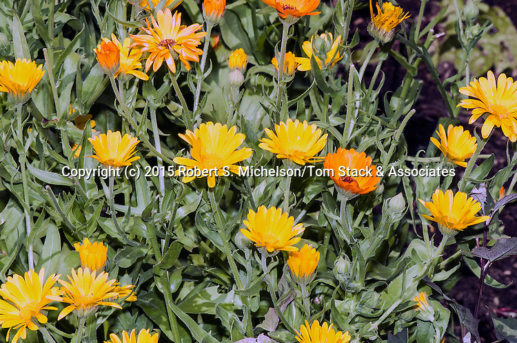 Pot Marigold (many).  This wildlflower was used in 17th century New England in cooking, medicine and cloths dye.  The flowere also added flavor and color to butter.