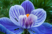 Kingston upon Thames, England. Blue crocus flower with orange stamens early morning spring light.