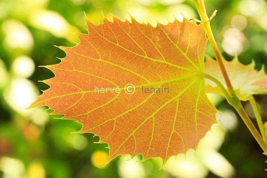 Tilleul de Henry, Tilia henryana, jeune feuille // Leaf of Henry's lime in spring ( Tilia henryana).