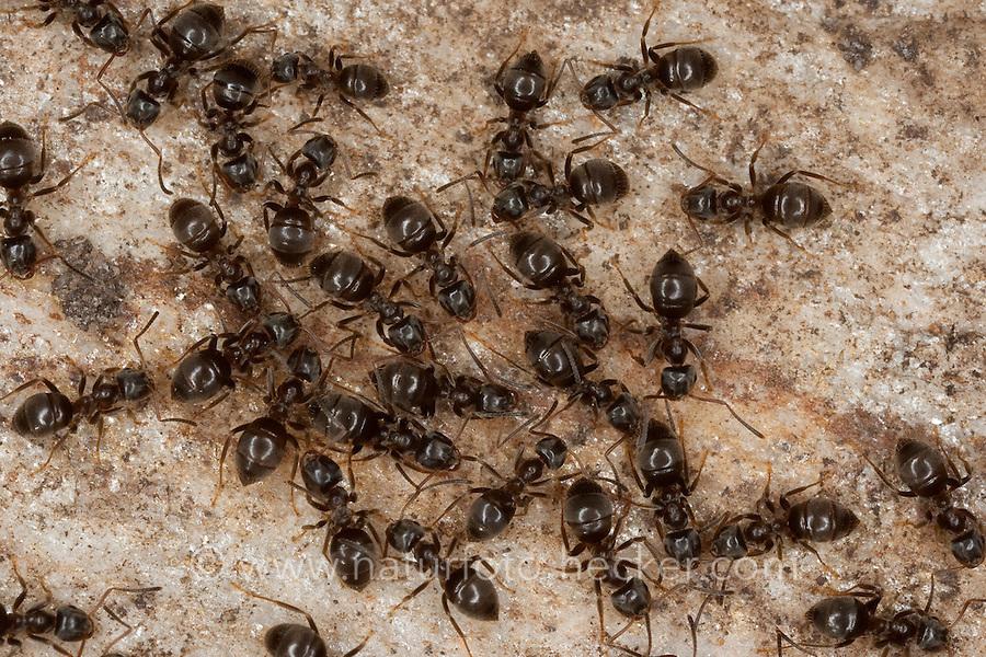 Schwarze Wegameise, Mattschwarze Wegameise, Schwarze Gartenameise, Schwarzgraue Wegameise, Lasius niger, black garden ant, Common Black Ant