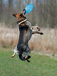German shepard Husky mix catches a frisbee in mid air . Playing with dogs , playing Dog Frisbee.<br /> photo Michael Kooren/Utrecht