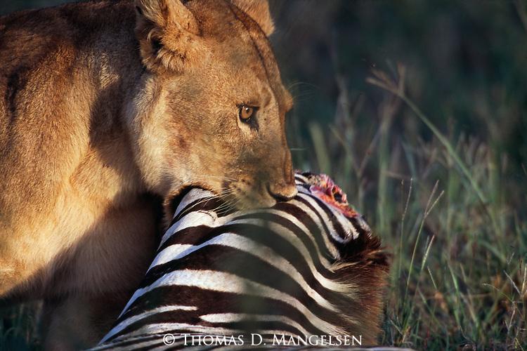 Lion feeds on a zebra carcass in Tanzania.............................................................................................................................................................................................................................................................................................................................................................................................................................................................................................................................................................................................................................................................................................................................................................................................