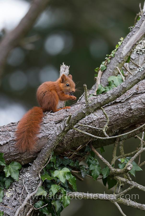 Eichhörnchen, Europäisches Eichhörnchen, Eichkätzchen, Eichkater, frisst Brombeere, Sciurus vulgaris, European red squirrel, Eurasian red squirrel, L'écureuil d'Eurasie, écureuil roux