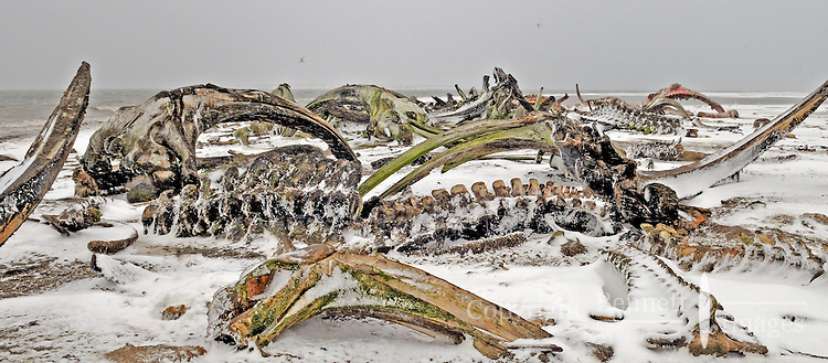One of the attractions of Kaktovic for the both polar & grizzly bears is the pile of whale bones from the fall hunt, piled at the end of a spit outside of town. Every fall, polar bears gather near the community of Kaktovik, Alaska, on the northern edge of ANWR, waiting for the Arctic Ocean to freeze. The bears have become a symbol of global warming.