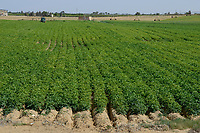 EGYPT, Cairo Alexandria desert road, potato farming in the desert, Daltex Corporation, the round fields are irrigated by pivot circle irrigation with groundwater / AEGYPTEN, Daltex Corporation, Kartoffelanbau in der Wueste, die kreisrunden Felder werden mit Pivot Kreisbewaesserungsanlagen mit Grundwasser bewaessert