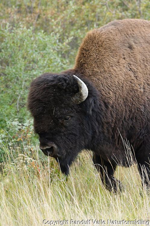 Amerikansk bison (Bison bison athabascae) nær Yellowknife i Canada. ---- American bison (Bison bison athabascae) near Yellowknife, Canada.