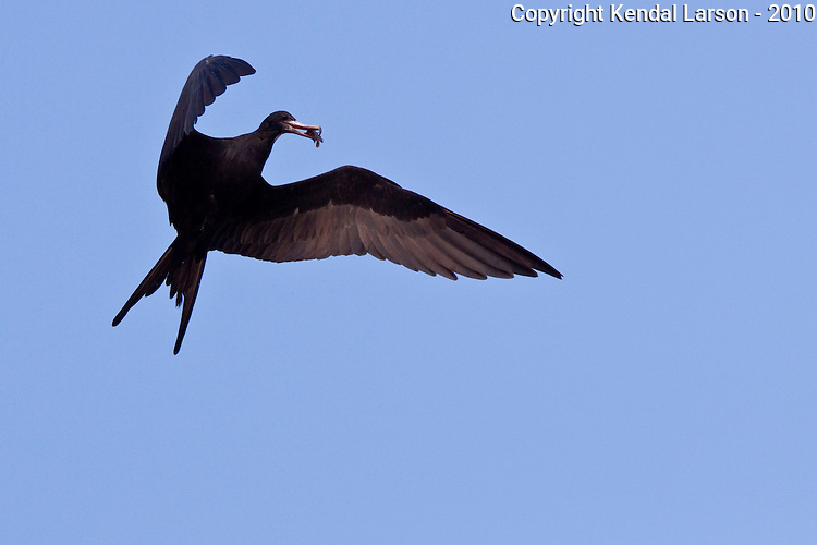 A male magnificent frigate bird flares, a freshly caught fish visible in its beak.