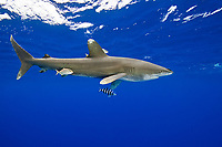 Oceanic Whitetip Shark, Carcharhinus longimanus, trailing a fishing line from its mouth, accompanied by Pilotfish, Naucrates ductor, Remoras, Remora sp., and juvenile Amberjacks, Seriola dumerili, off Kona, Big Island, Hawaii, USA, Pacific Ocean