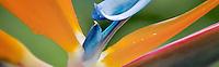 Close up of Bird of Paradise flower. St. John, Virgin Islands