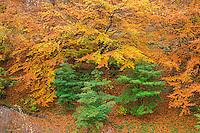 ORPTH_119 - USA, Oregon, Portland, Hoyt Arboretum, Autumn color of American beech trees (Fagus grandifolia).