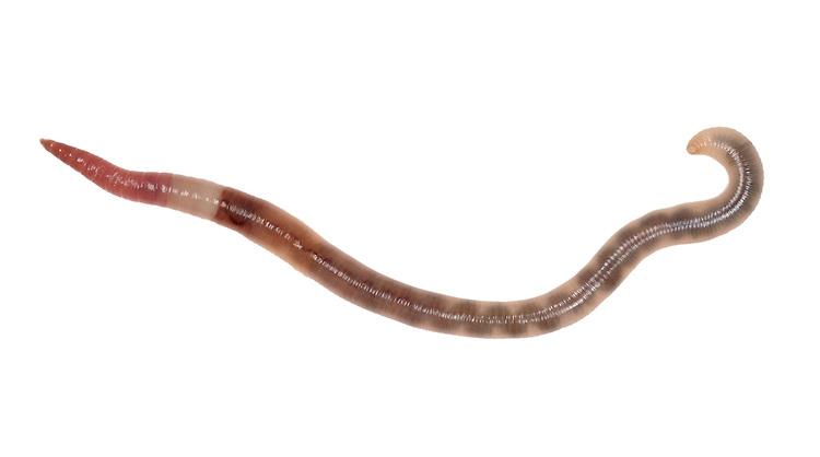 Grey Worm - Aporrectodea caliginosa