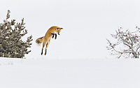 Red fox mousing