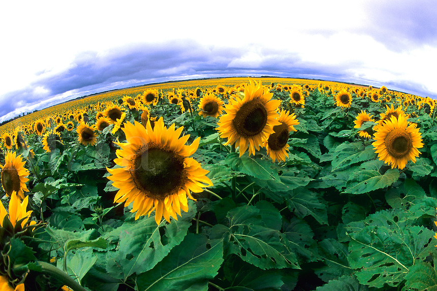 Wild colors of sunflowers in Jamestown North Dakot