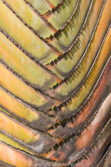 Detail of a Traveler's palm shows patterns and textures in nature. colors are muted with great detail. Looks like a watercolor.