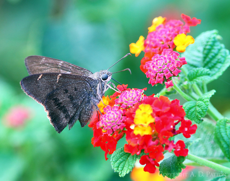 Tailless teleus longtail skipper on lantana