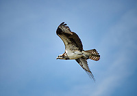 Osprey in flight, Delaware.