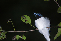Male madagascar paradise flycatcher on perch at night