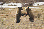 Two grizzly bear cubs play fight in Grand Teton National Park, Wyoming.