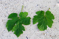 A Merlot leaf to the left with lobes that are clearly separated and jagged; to the right a Malbec leaf that is more circular (rounder) and with lobes that are less clearly separated  Chateau Bouscaut Cru Classe Cadaujac  Graves Pessac Leognan  Bordeaux Gironde Aquitaine France