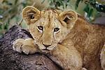 African lion cub, Kenya