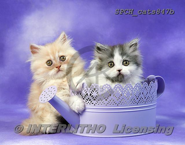 Xavier, ANIMALS, REALISTISCHE TIERE, ANIMALES REALISTICOS, cats, photos+++++,SPCHCATS847B,#a#