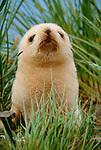 White morph Southern fur seal pup, South Georgia Island