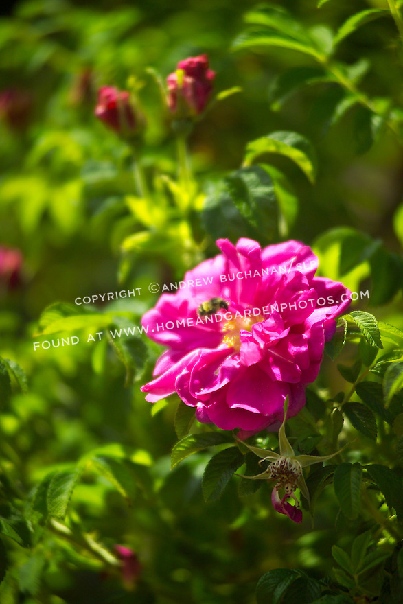 A lone bumblebee in flight approaches the yellow stamens at the center of the bright pink of a rose flower in the summer sunshine in this shallow-focus detail shot that includes a soft green background and plenty of room for text.