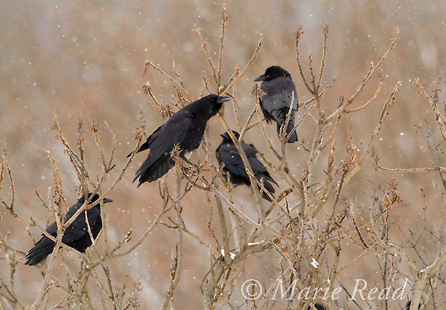 American Crow (Corvus brachyrhynchos) group of four during snowstorm in winter, one calling, Ithaca, New York, USA