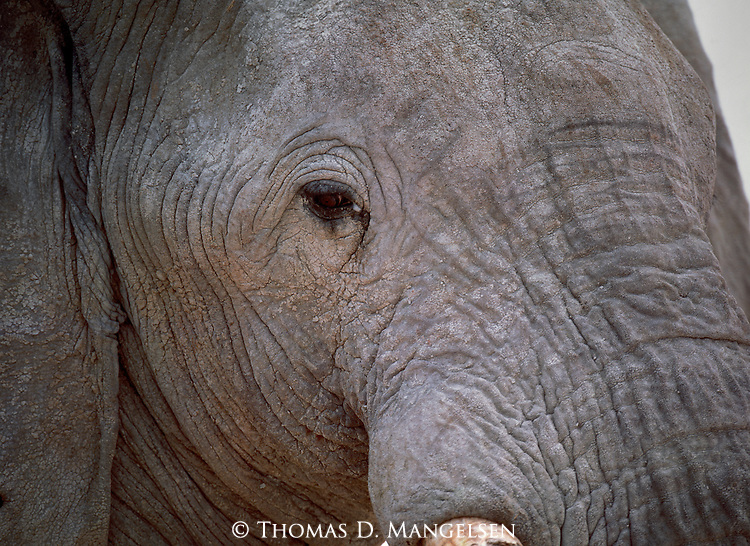 The weathered face of an elephant near the Okakueo Water Hole in Etosha, Namibia, reflects the years of drought, poaching, and hunger that have plagued these animals in Etosha National Park, Namibia.