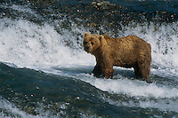 Brown Bear fishing for Salmon at McNeil River Falls. Summer in Southwest Alaska.