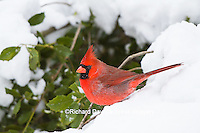 01530-21615 Northern Cardinal (Cardinalis cardinalis) male in American Holly (Ilex opaca) in winter Marion Co. IL