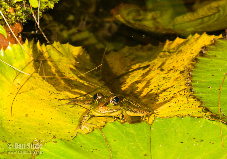 Forrer's Grass Frog (or Lepoard Frog), Lithobates forreri (Rana forreri), in the gardens of the Hotel Bougainvillea, Santo Domingo de Heredia, Costa Rica