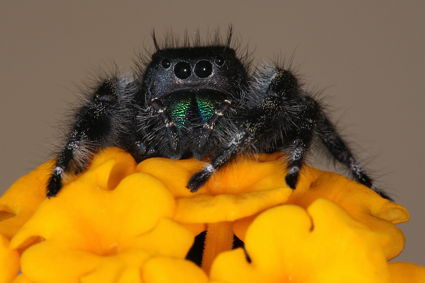 Bold Jumper sitting atop a lantana flower.