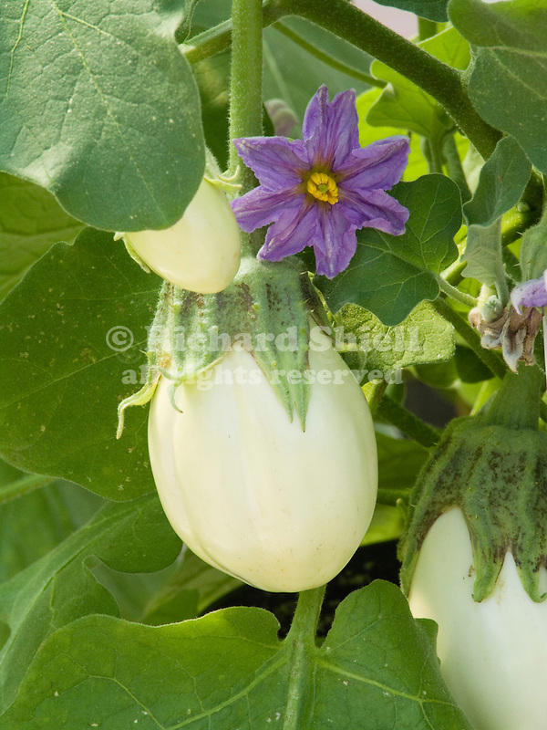 Mohican Eggplant