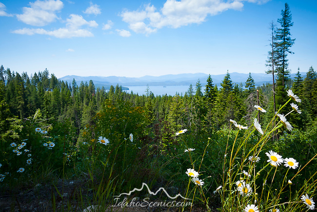 Idaho, North, Priest Lake. From a daisy covered hillside above the east shore of Priest Lake, in the Selkirk Mountains.