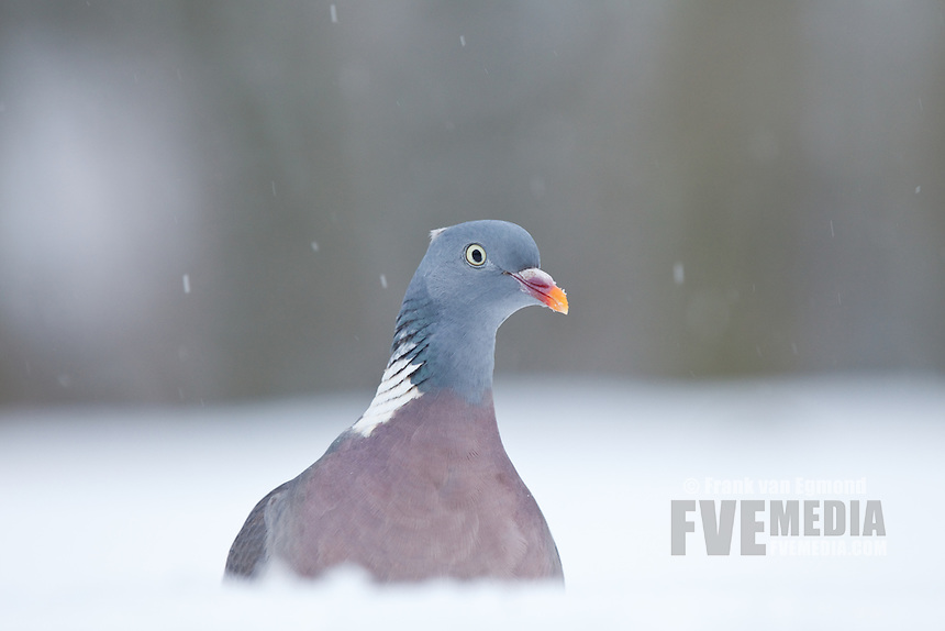 Common Wood Pigion in the snow (Columba palumbus)