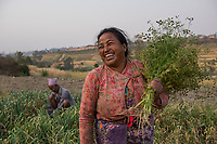Nepal, Kathmandu. Women working  in the agricultural fields.