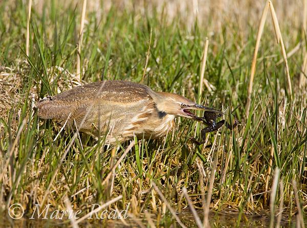 American Bittern (Botaurus lentiginosus) capturing a frog, Montezuma NWR, New York USA.