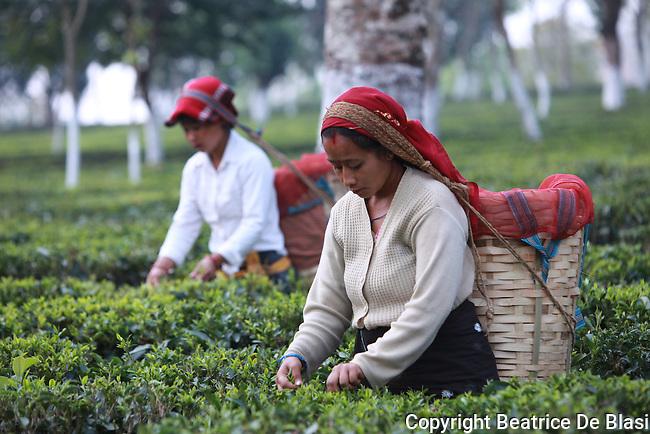 Fair trad pluckers harvest tea leaves in Ambootia, Darjeeling