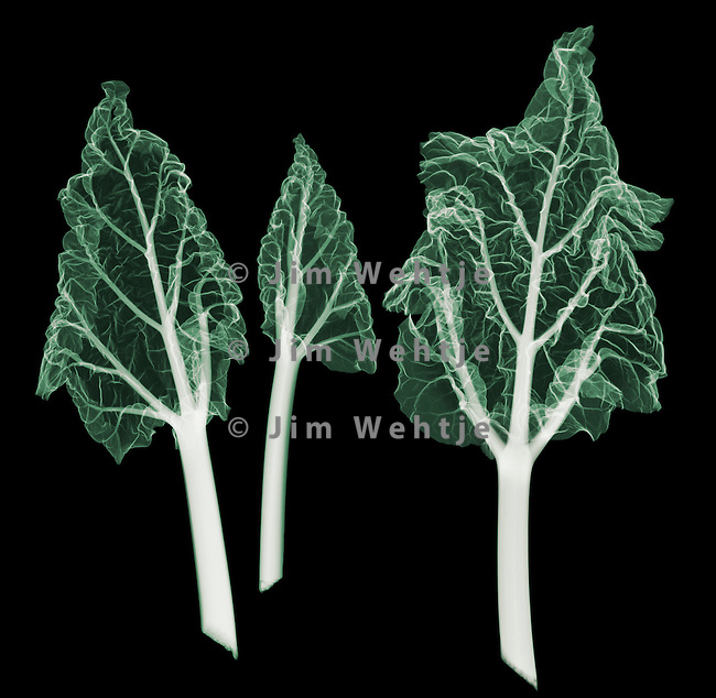 X-ray image of three rhubarb leaves (color on black) by Jim Wehtje, specialist in x-ray art and design images.
