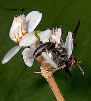 "0719-07yy  Malaysian Orchid Mantis Consuming Prey - Hymenopus coronatus ""Nymph"" - © David Kuhn/Dwight Kuhn Photography."