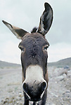 Flop-ear jackass in the Panamint Mountains of Calif.
