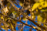 A Warbling white-eye (Zosterops japonicus), or Japanese white-eye bird in a tree surround by autumn foliage. Tsuruma, Kanagawa, Japan. Tuesday December 24th 2019