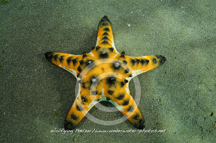 Protoreaster nodosus, Knotiger Walzenseestern, Horned sea star, Secret Bay, Gilimanuk, Bali, Indonesien, Indopazifik, Indonesia, Asien, Indo-Pacific Ocean, Asia