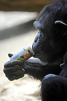 A chimpanzee drinks it's can of juice. A chimpanzee inserts a ten yen coin into a drink vending machine. Chimpanzees in Tama Zoo in the western suberbs of Tokyo buy soft drinks from a vening machine. The zoo, which is seen as one of Japan's most inovative, has installed a vending machine. The Chimps are given a ten yen yen coind which they insert into a vending machine and are given a can of fruit or vegetable juice.  The chimps then put the embty can into the waste machine for recycling.